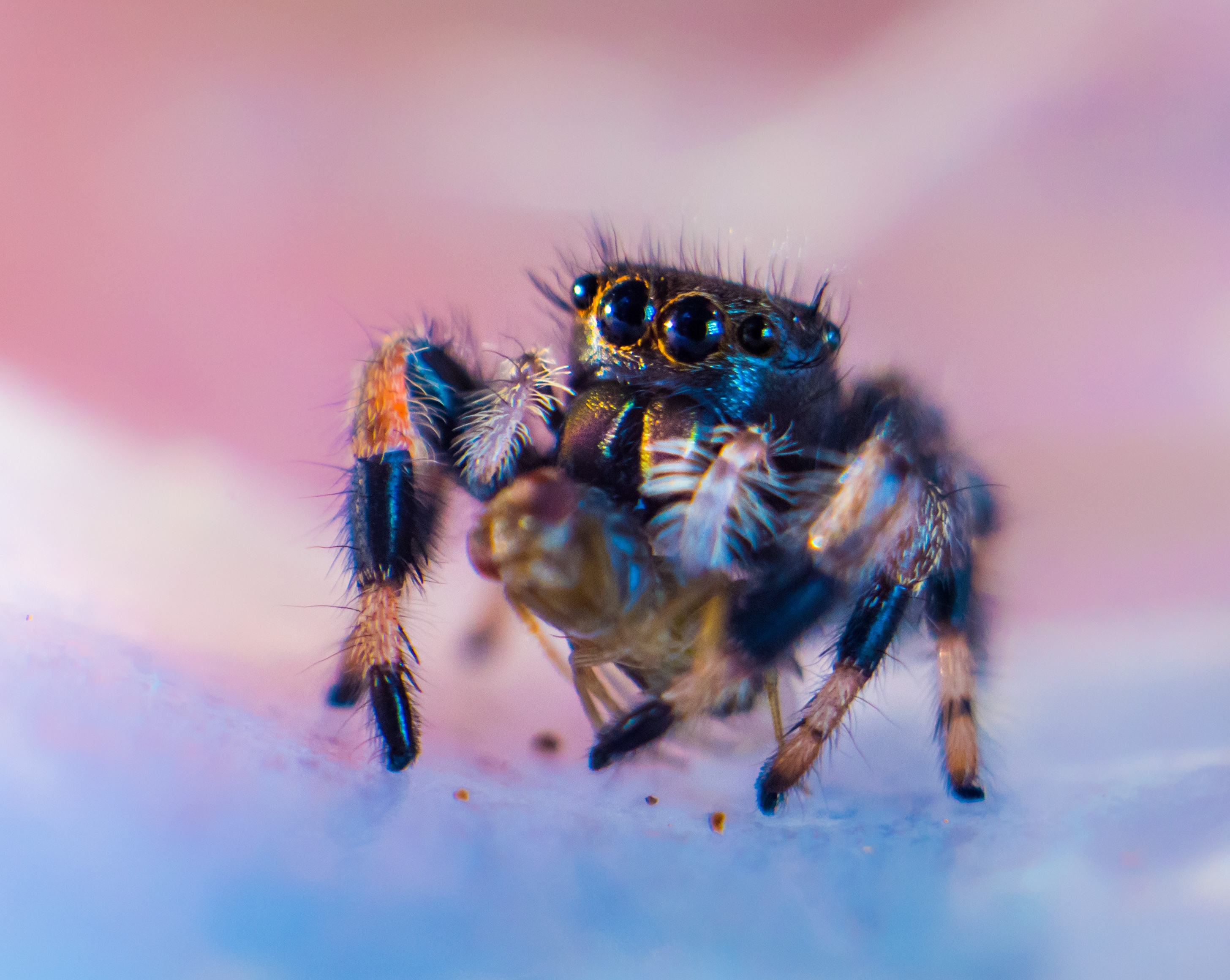 black and brown female jumping spider known as phidippus genus standing on her six hairy legs and starring at you with her four black eyes